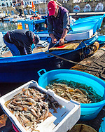 Fishermen cutting bait and harvesting shrimp and squid at Pozzuoli Harbor in southern Italy near Naples.