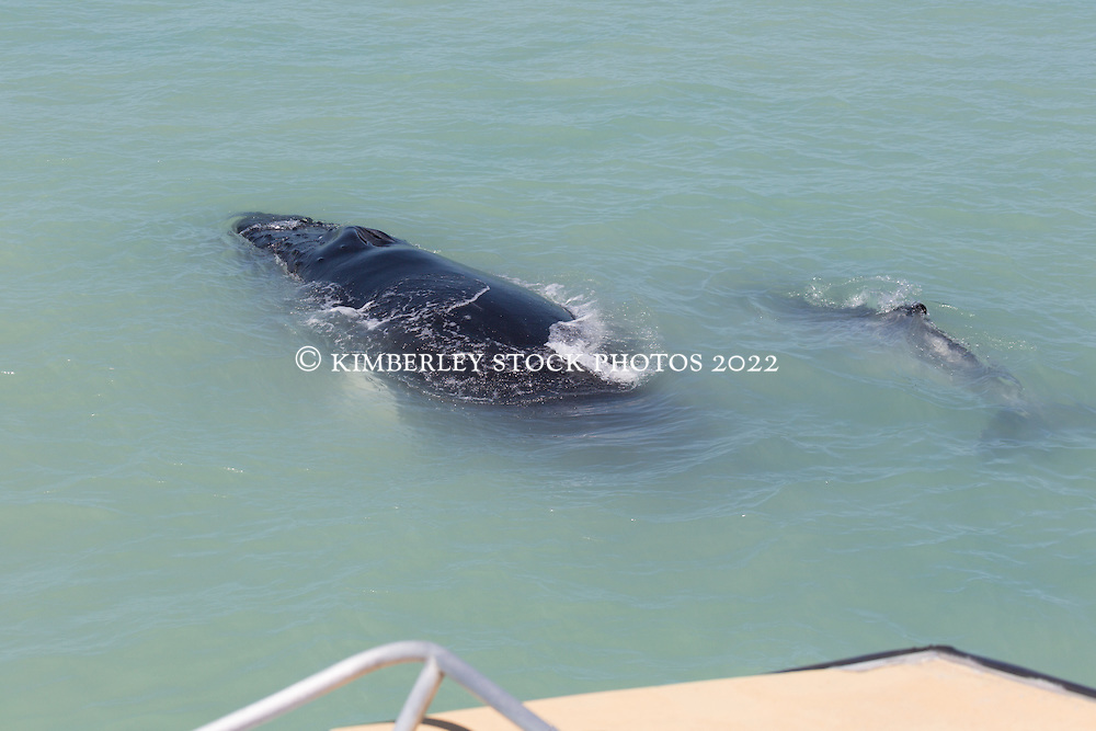 A pair of Humpback whales play in front of a charter boat on the Kimberley coast near Brue Reef.