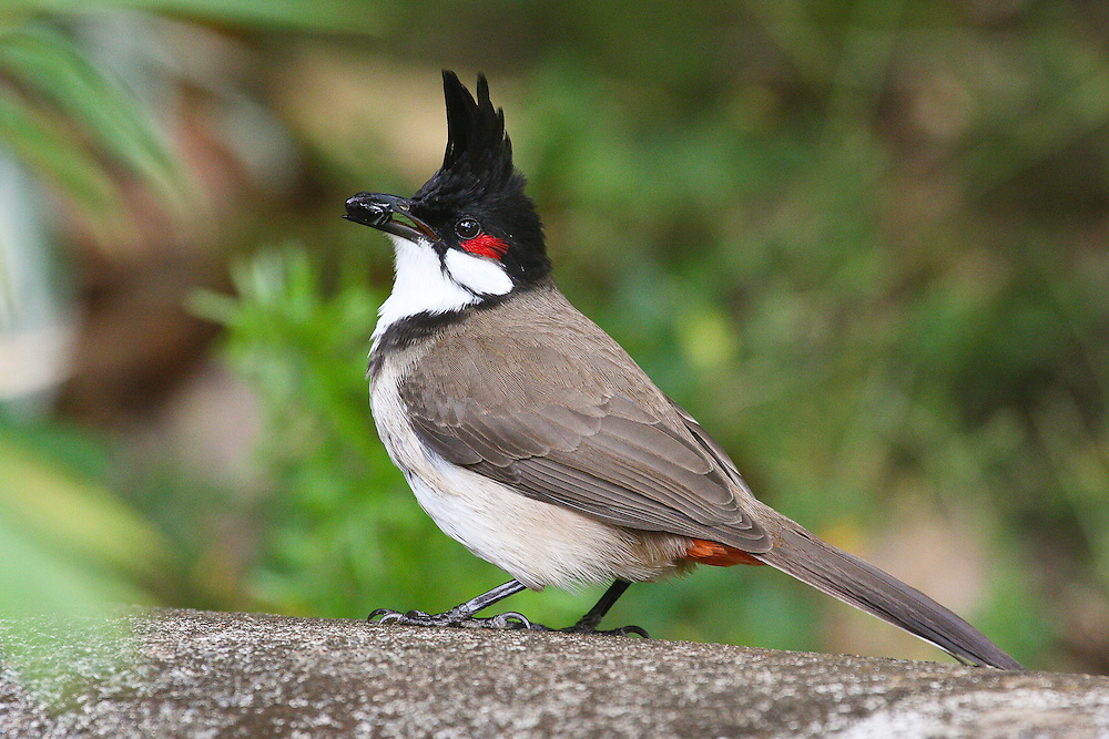 Red-whiskered Bulbul photo Hawaii