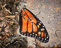 Monarch butterfly wing on the ground. Image taken with a Nikon 1V3 camera and 70-300 mm VR lens