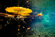 México, Quintana Roo. Water plants at cenote Chikin Ha.