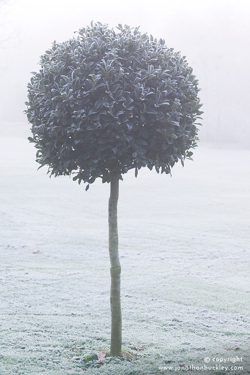 Clipped standard holly ball in fog and frost - Ilex aquifolium 'Siberia' in John Massey's garden