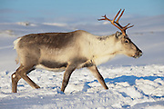Reindeer in natural environment in Tromso region, Northern Norway.