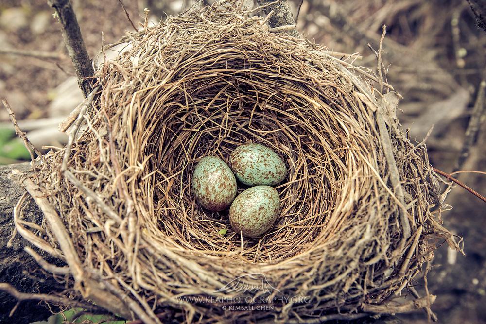 blackbird eggs in nest