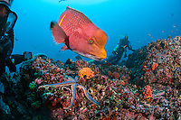 Selfie with Mexican Hogfish and divers<br /> <br /> <br /> Shot at Cocos Island, Costa Rica