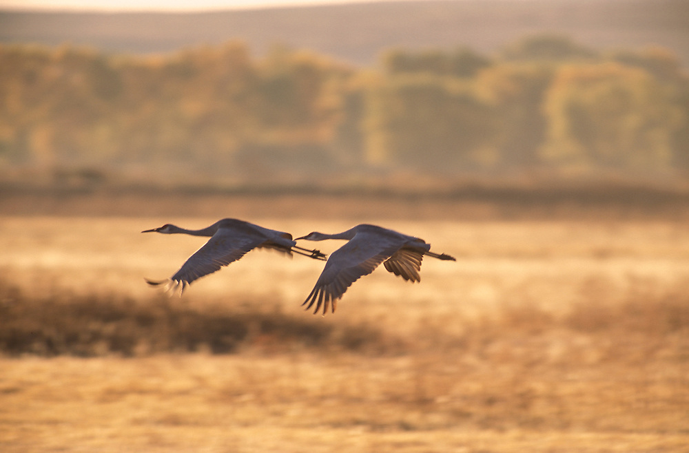 Sandhill Cranes ( Grus canadensis) Bosque del Apache National Wildlife Refuge, New Mexico, USA