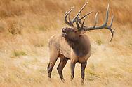 Bull Elk doing his Flehming response to the nearby female elk