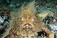 "Hairy Frogfish with pectoral fins extended for ""walking""<br /> <br /> Shot in Indonesia"