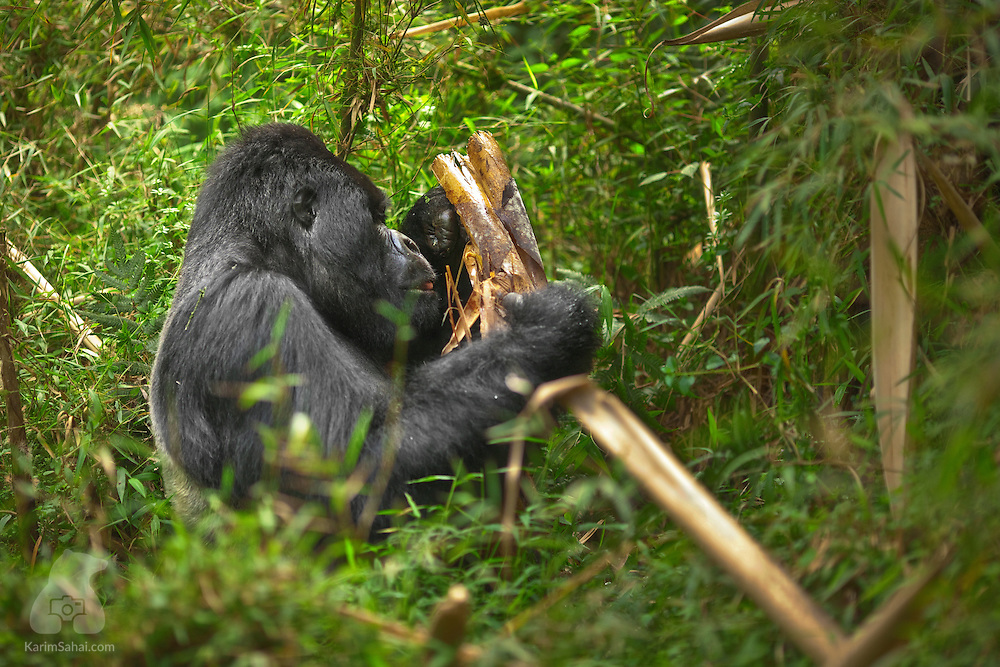 Guhonda - the largest mountain gorilla silverback in the world - feeding on bamboo, Volcanoes National Park, Rwanda.
