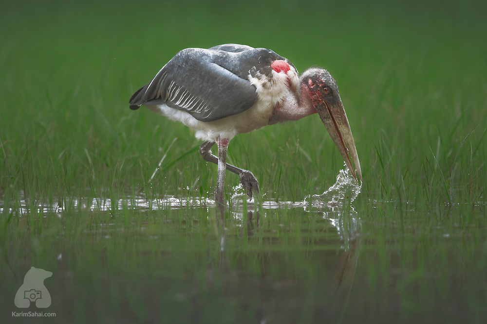 Marabou stork (Leptoptilos crumeniferus) wading in a marsh at Akagera National Park, Rwanda