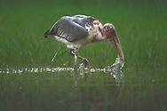 Marabou stork (Leptoptilos crumeniferus) wading in a marsh at Akagera National Park, Rwanda