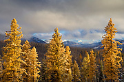 Western larch trees with late afternoon sun after snowstorm; Blue Mountains near Elkhorn Ridge summit, Wallowa-Whitman National Forest, eastern Oregon.