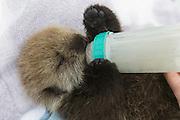 Sea Otter <br /> Enhydra lutris<br /> Three-week-old orphaned pup bottle-feeding<br /> Alaska Sea Life Center, Seward, Alaska