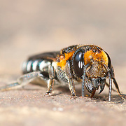 Megachilidae bee commonly known as mason bees and leafcutter bees in Pang Sida National Park, Thailand.