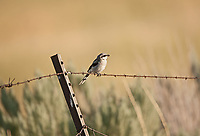 A Loggerhead Shrike perched on a fence wire in northern Utah.