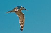 Common in California and the upper Atlantic Coast, these terns on occasion will migrate across the mainland to the Gulf of Mexico in winter - as was the case with this tern.