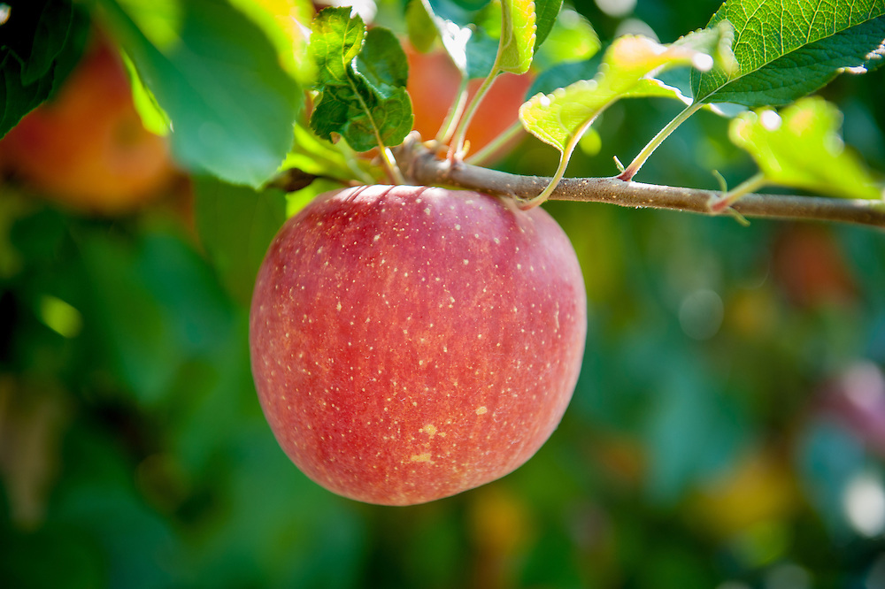 A single red apple hanging on a branch at an orchard in Cashtown, Pennsylvania, USA
