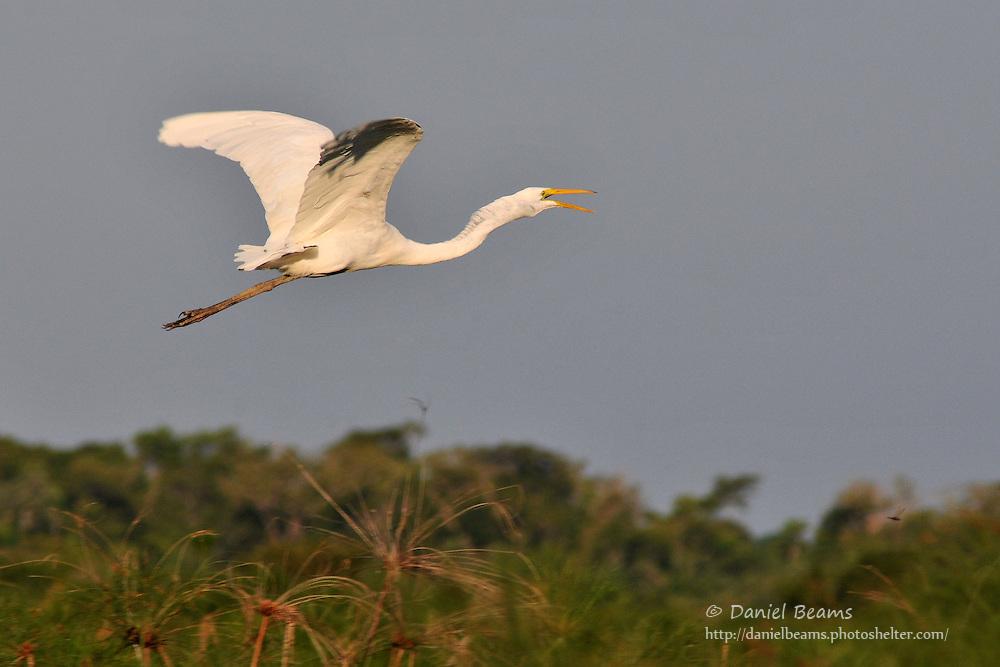 Great Egret in flight near San Lorenzo, Beni, Bolivia