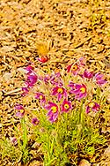 Pasqueflower, (Anemone Patens), Southwest Montana