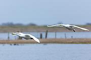 Pair of Whooper Swan, Cygnus cygnus, in flight with wings spread wide about to land at Welney Wetland Centre, Norfolk, UK