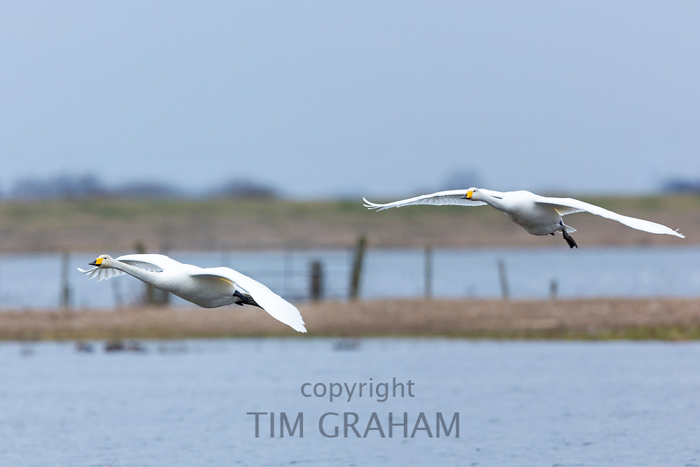 Pair of Whooper Swan, Cygnus cygnus, in flight with wings spread wide about to land at Welney Wetland Centre, Norfolk, UK