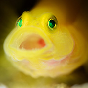 Extreme close-up portrait of a 2cm yellow pygmy goby (Lubricogobius exiguus) with its mouth open, perched at the entrance of a burrow in sandy substrate at 29m depth. ミヒンベニハゼ