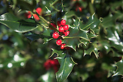Red berries and holly leaves close up
