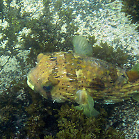 South America, Ecuador, Galapagos, Floreana.  A Long-spine porcupinefish in the waters of the Galapagos.