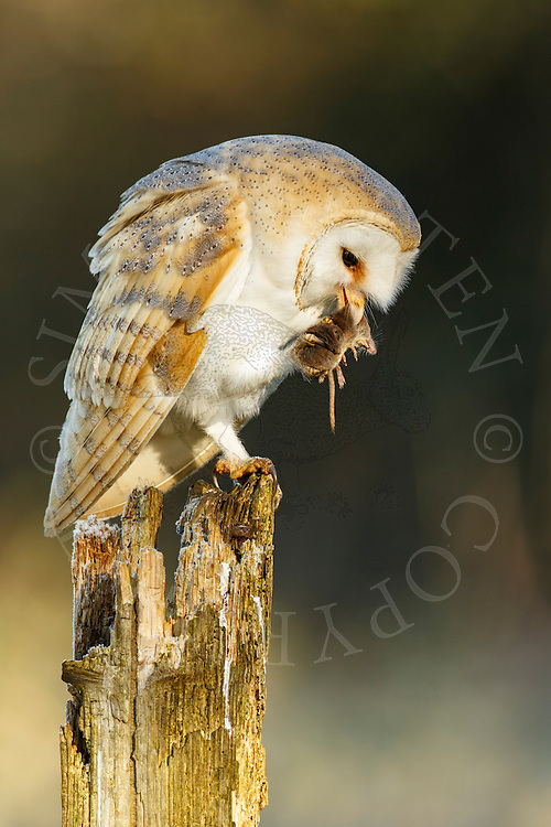 Barn Owl (Tyto Alba) adult perched on post with prey, Norfolk, UK.