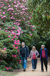 © Licensed to London News Pictures. 17/05/2016. Langley, UK. People enjoy the colourful rhododendrons which are flowering in the Temple Gardens in Langley Park, Buckinghamshire.  Once a royal hunting ground, the park has a historic links to King Henry VIII and Queen Victoria. Photo credit : Stephen Chung/LNP