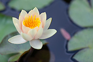 A colorful and delicate water lily flower rising above the lily pads (without polarizing filter)