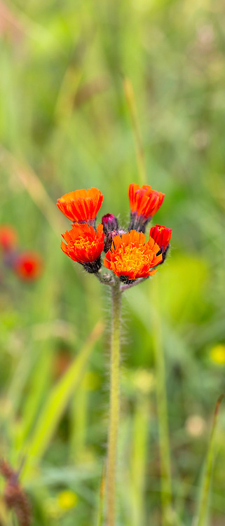 Orange perennial wildflowers in bloom in summer in Gloucestershire, UK