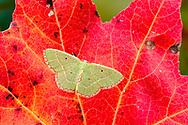 Red-bordered Emerald - Hodges#7033 (Nemoria lixaria)<br /> United States: Alabama: Tuscaloosa Co.<br /> Tulip Tree Springs off Echola Rd.; Elrod<br /> 29-Oct-2016<br /> J.C. Abbott #2878