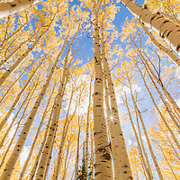 The sun peaks behind tall golden aspen trees in the fall. Bonanza Flats, Utah