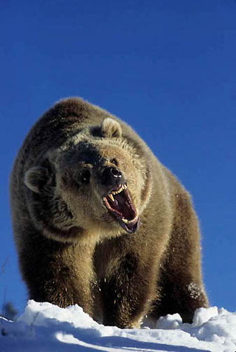 Grizzly Bear, (Ursus horribilis) Montana. Adult snarling. Rocky mountains.  Captive Animal.