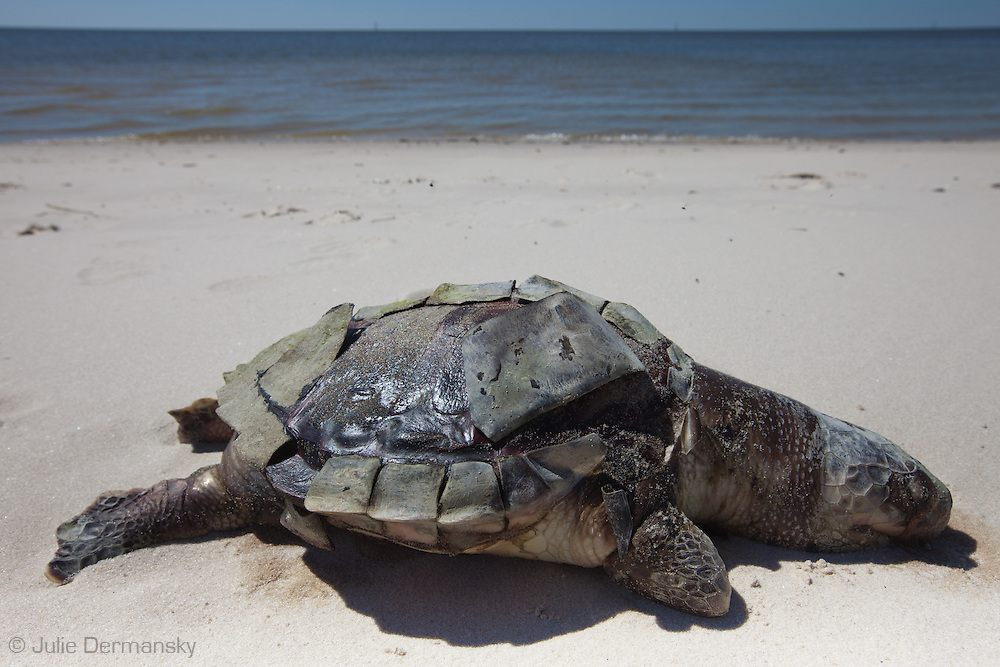 Dead sea turtle on the beach in Pass Christian Mississippi. <br /> An unprecedented number of dead young  Kemp's Ridley and Loggerhead sea turtles,  have washed up on the shores of Mississippi along the Gulf of Mexico starting almost a year after the BP oil spill. <br /> Test are being done on the high number of turtle and dolphin corpses found on the beaches but results have not been released.