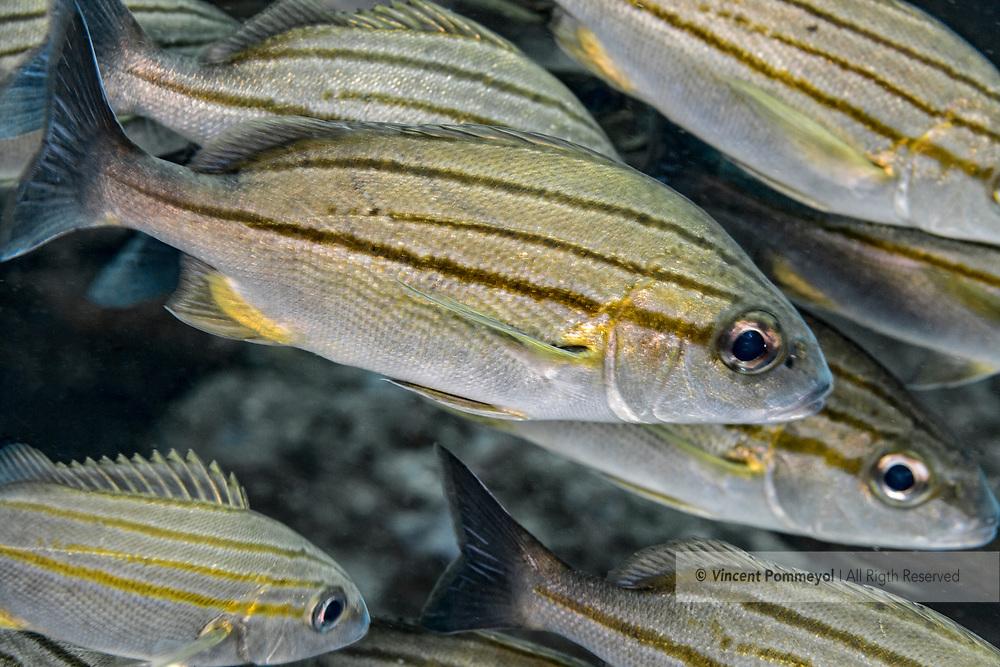 Snappers fish-Vivaneaux (Lutjanidae), indian ocean, South Africa.