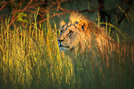 Africa, South Africa, African,  North West Province, Pilanesberg, National Park, male Lion,