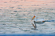 American white pelican (Pelecanus erythrorhynchos) on Lake of the Woods at dawn<br />