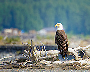 Our first up-close bald eagle at Chilkat preserve
