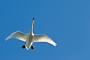 Trumpeter Swan flying overhead of westchester lagoon, Anchorage, Alaska in Fall