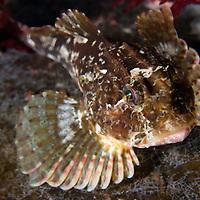 Long-spined Seascorpion, Taurulus bubalis<br /> Atlantic marine life, Saltstraumen, Bod&ouml;, Norway