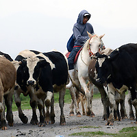 METEPEC, México.-  El sustento de algunas familias de San Lucas Tunco, comunidad del municipio de Metepec, siguen dependiendo de la crianza de animales de corral, como vacas, borregos y cabras, animales que sacan a pastear al campo. Agencia MVT / José Hernández. (DIGITAL)