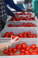 A customer picks up a tomato in a bin at the Kirkwood Sun Country Produce booth at the Downtown Farmers' Market in Cedar Rapids on Saturday morning, June 2, 2012. There were 244 vendors who participated in the first market of the year. (Stephen Mally/Freelance)