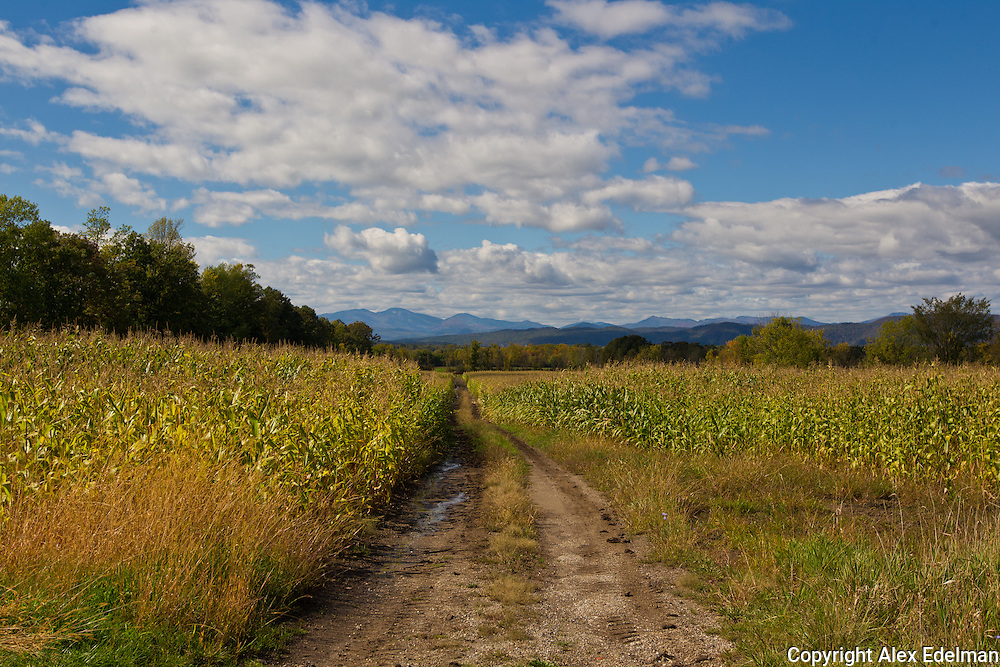 A mature feed corn field in Vermont. A short drive south on U.S. Route 7 from Burlington.