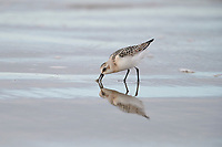 Semipalmated Sandpiper (Calidris pusilla)foraging along shoreline, Crescent Beach, Nova Scotia, Canada
