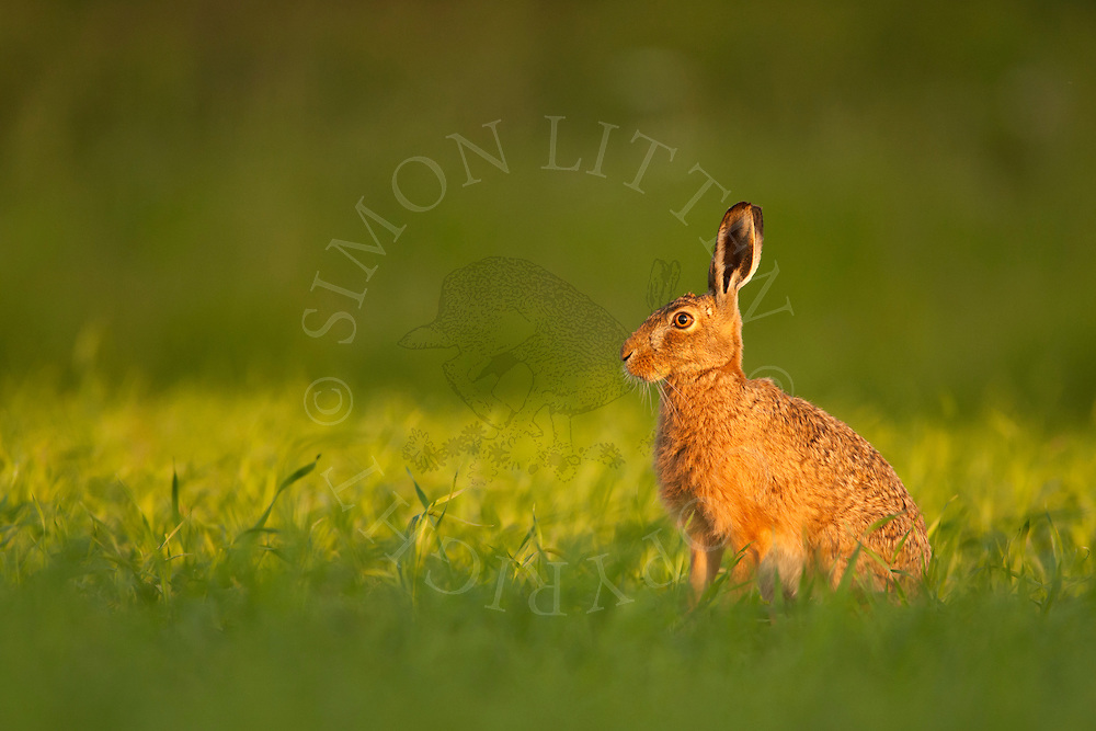 European Hare (Lepus europaeus) adult, alert, Norfolk, UK.