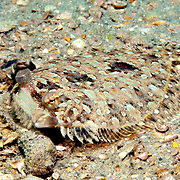 Eyed Flounder inhabit sand, rubble and areas mixed with sea grasses, often near patch reefs in Tropical West Atlantic; picture taken Blue Heron Bridge, Palm Beach, FL.