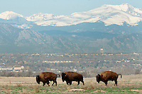 Wild bison bulls inspect the range shortly after being returned to the Colorado prairie from Montana for the first time in over 100 years near Commerce City, Colorado March 17, 2007. Transferred from Montana the 16 animals will have 1,400 acres outside of Denver for their new home.  REUTERS/Rick Wilking (UNITED STATES)