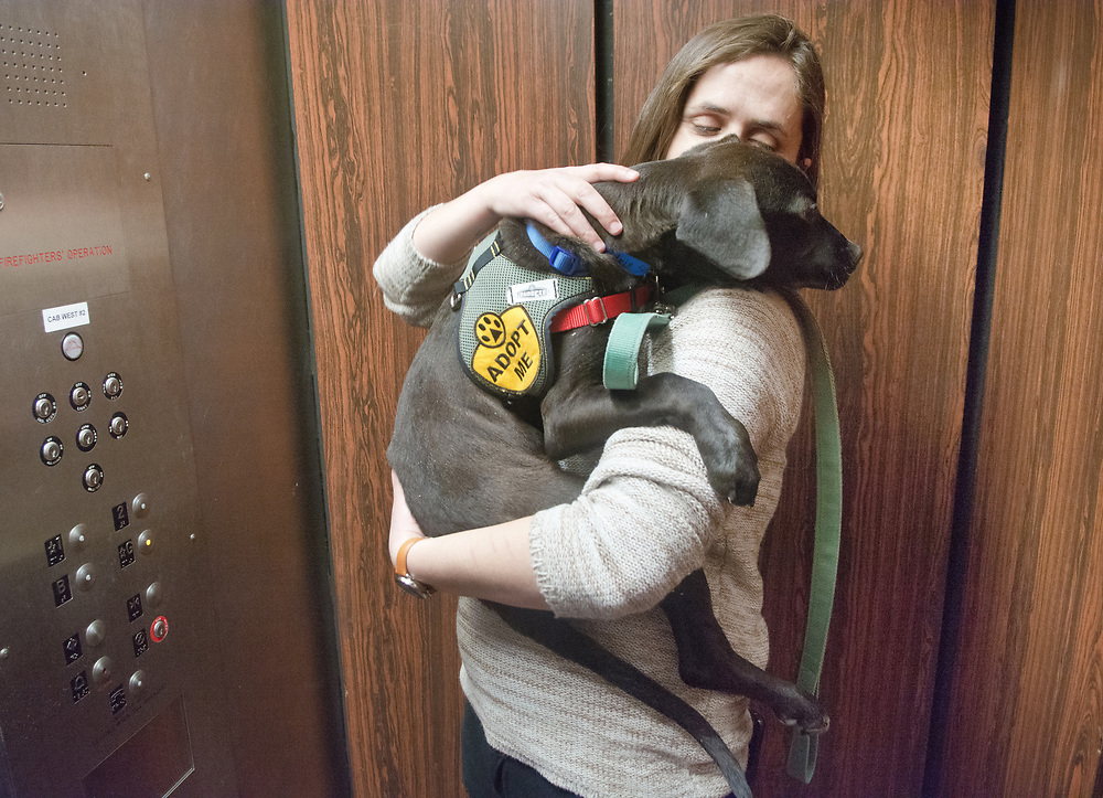 """mkb040517b/metro/Marla Brose --  Inside an elevator at the Albuquerque Convention Center, Marlene Andrade cuddles with a puppy that she plans to adopt from Animal Humane New Mexico after introducing the dog  to some of her co-workers during the lunch time adoption event on Civic Plaza, Wednesday, April 5, 2017, in Albuquerque, N.M. """"It's meant to be,"""" Andrade said after she met the dog on Civic Plaza on Wednesday. Puppies and dogs from Animal Humane New Mexico and Albuquerque Animal Welfare were available  for cuddling, walking and adopting during the event. (Marla Brose/Albuquerque Journal)"""
